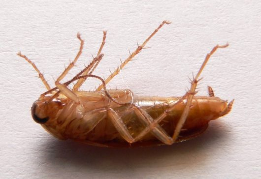 ¿Sabías que hay cucarachas capaces de resistir temperaturas bajo cero?